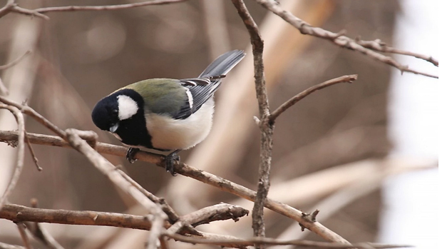 These birds use a linguistic rule thought to be unique to humans