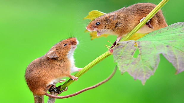 Mice's love songs go wrong when 'language gene' is messed up