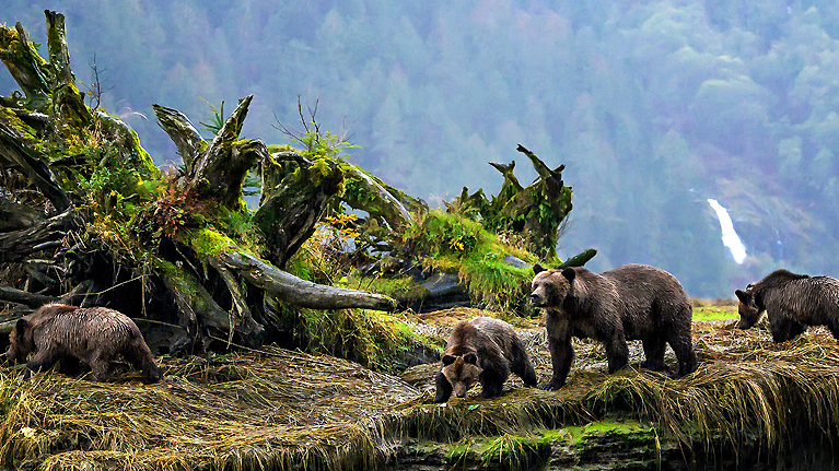 'Mind blowing': Grizzly bear DNA maps onto Indigenous language families